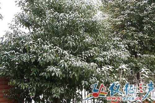 冬青树上挂满了雪花